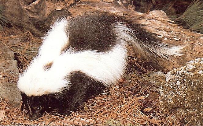 Skunk anal glands photo
